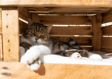 cat relaxing in wooden fruit crate box outdoors on a hot and sunny summer day with paws crossed looking at camera sleepily
