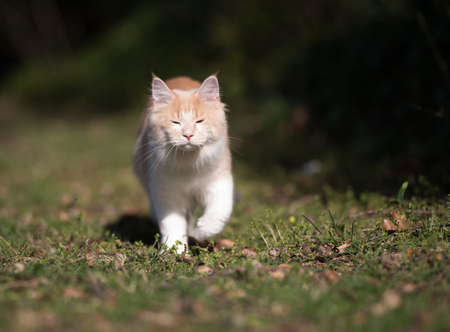 cream colored beige white maine coon kitten walking towards camera in the sunlight blinded with closed eyes