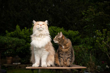 two different breeds of cats sitting side by side on a wooden table outdoors in the garden