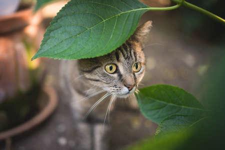 tabby european shorthair cat hiding behind leaf
