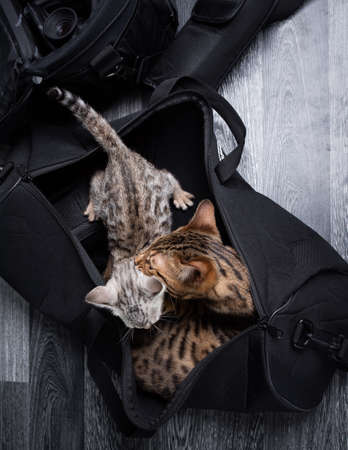 top view of two bengal kittens relaxing in black camera bag grooming each other 写真素材
