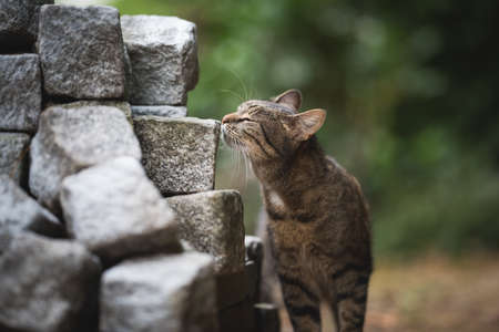 tabby domestic shorthair cat smelling on stacked cobbles in the back yard