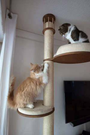 two cats on a scratching post indoors looking at each other. the cats are fighting for the best place on the cat tree 写真素材