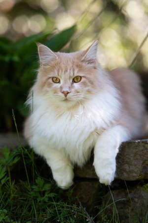 maine coon cat resting in the shade on a natural stone wall in the back yard observing the area on a sunny day