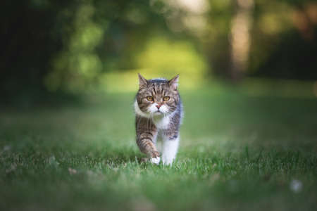front view of a tabby white british shorthair cat walking towards camera in the garden on a summer day