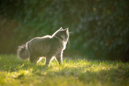 curious blue tabby maine coon cat standing on grass outdoors in nature looking away