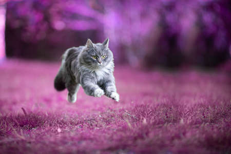 Blue tabby white maine coon cat running on purple grass flying mid air
