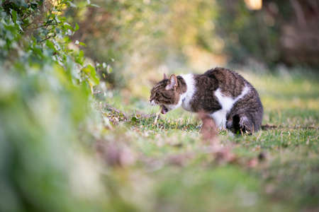 side view of a tabby white british shorthar cat puking outdoors on grass 写真素材