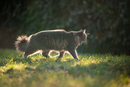 curious blue tabby maine coon cat walking on grass outdoors in nature looking away prowling in backlight