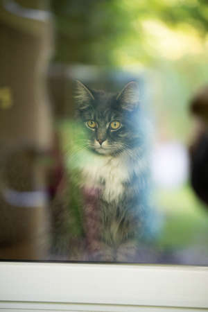 maine coon cat inside looking out of window