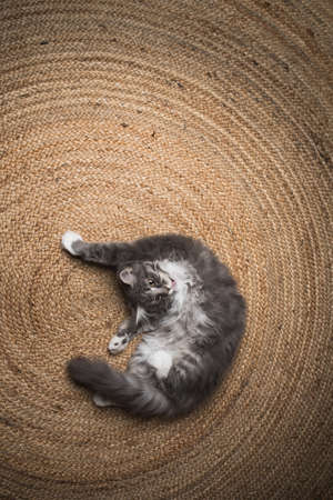 blue tabby maine coon kitten lying on the carpet grooming and cleaning the fur 写真素材