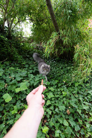 human hand holding treat to lure or attract young blue tabby maine coon cat outdoors in nature