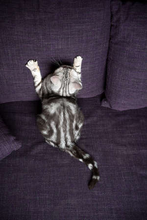 playful silver tabby british shorthait cat scratching purple couch looking up
