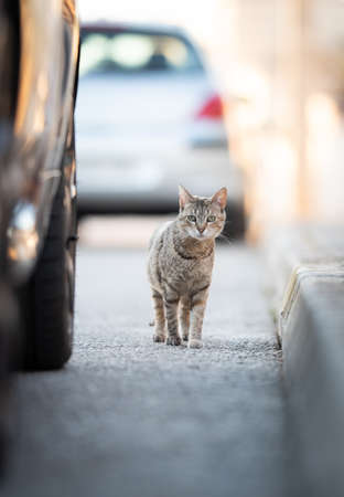 Mallorca 2019: curious stray cat on the street next to a parking car looking at camera in Santa Ponca, Majorca on asunny summer day