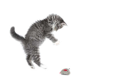 8 week old blue tabby maine coon kitten jumping away from cat toy in front of white background