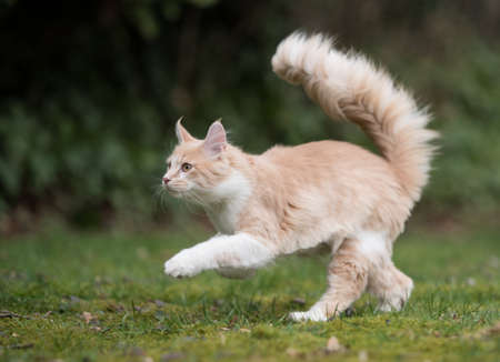 side view of a cream colored beige white maine coon kitten with extremely long fluffy tail running over the lawn in the back yard 写真素材
