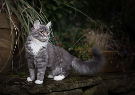 blue tabby maine coon kitten standing on natural stone wall in front of plant pot with pampas grass observing the back yard curiously