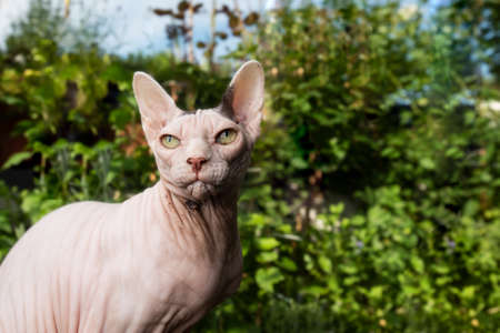portrait of hairless sphynx cat outdoors on balcony in front of plants looking ahead 写真素材