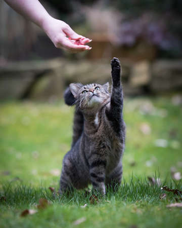 front view of a tabby domestic shorthair cat raising paw reaching for treat held by owner outdoors in the back yard 写真素材