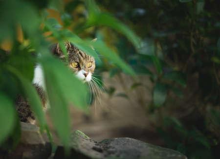 tabby white british shorthair cat hiding behind bush observing the garden