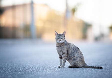 Mallorca 2019: beautiful tabby stray cat with ear notch sitting on street looking at camera on a sunny summer evening on majorca