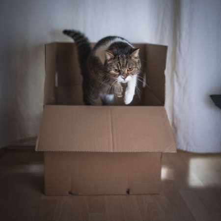 tabby british shorthair cat jumping out of a cardboard box