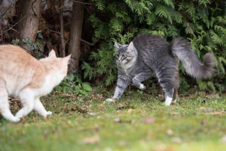 two maine coon cats meeting outdoors in the back yard 写真素材