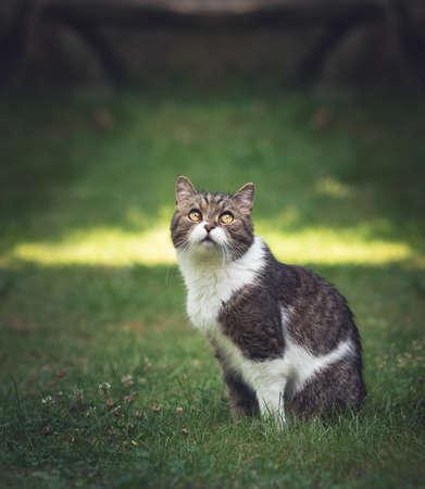 British Shorthair Cat Portrait in garden 写真素材