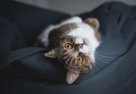 portrait of a tabby british shorthair cat relaxing on bean bag upside down looking at camera 写真素材
