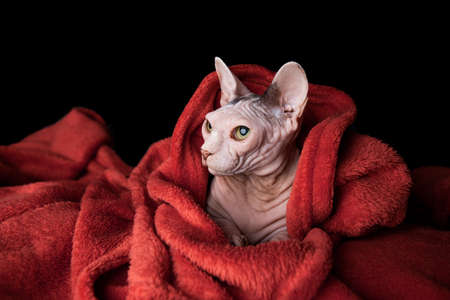 portrait of hairless sphynx cat wrapped in warm red blanket looking to the side 写真素材