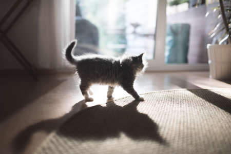 back lit blue tabby maine coon kitten in the sunny living room in front of big window 写真素材