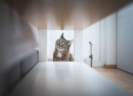 tabby domestic shorthair cat looking at table 写真素材