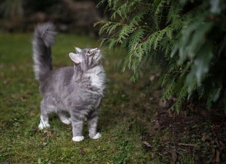 blue tabby maine coon kitten standing next to coniferous tree in the back yard looking up curiously