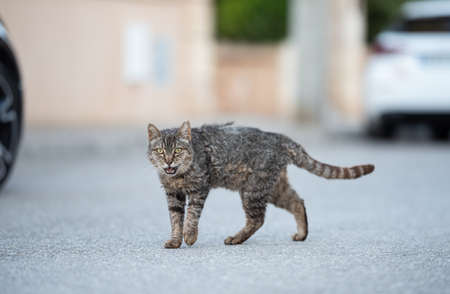 Mallorca 2019: side view of a disheveled tabby stray cat with ear notch walking crossing street in Santa Ponca, Majorca looking at camera meowing 写真素材