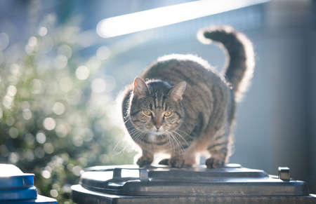 tabby domestic shorthair cat standing on garbage bin in the sunlight 写真素材