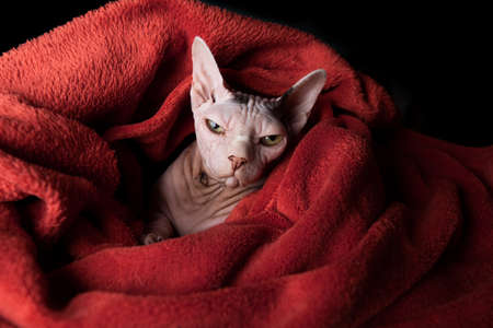 portrait of tired hairless sphynx cat wrapped in warm red blanket looking at camera 写真素材