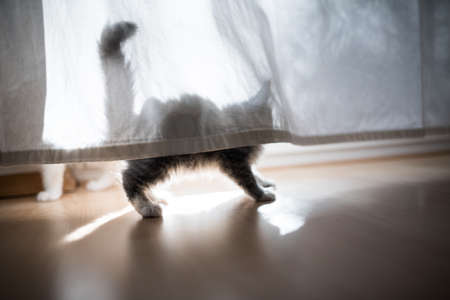 maine coon kitten behind curtain back lit by sunlight 写真素材