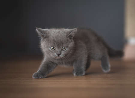 blue british shorthair kitten sneaking through the corridor 写真素材