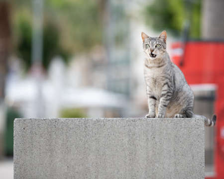 stray cat standing on concrete bench with copy space next to beach promenade making a funny face looking at camera in Port de Soller, Majorca
