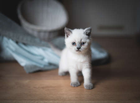 cream colored british shorthair kitten in front of a white basket and a blanket