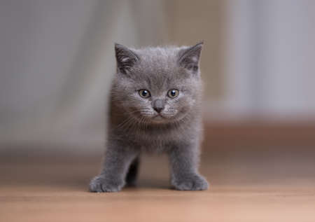 front view of a blue british shorthair kitten standing on the floor looking at camera