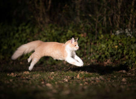 side view of a cream colored beige white maine coon kitten running in the back yard in the low evening sun