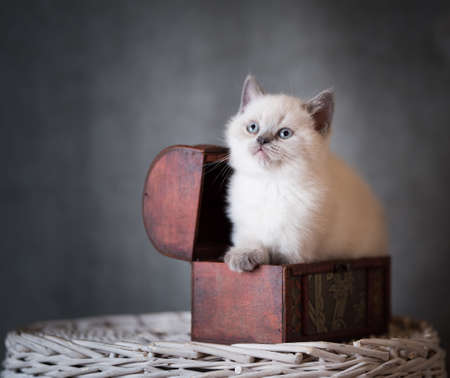 cream colored british shorthair kitten sitting in a treasure box looking up curiously