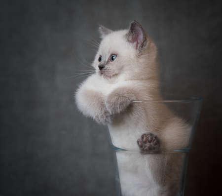 cream colored british shorthair kitten relaxing in a flower vase 写真素材