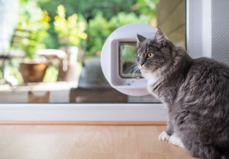 Young blue tabby maine coon cat with white paws sitting in front of a window with cat flap installation looking to the side 写真素材