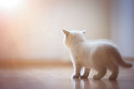 cute cream colored british shorthair kitten looking into the light