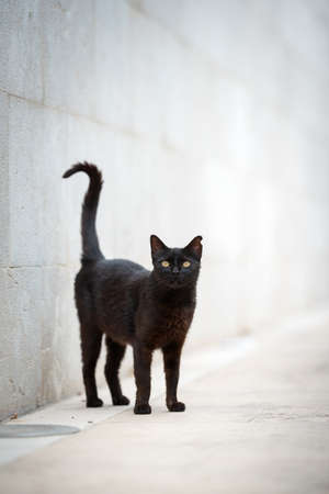 black stray cat with ear notch standing on sidewalk in front of concrete wall looking at camera curiously in Port de Soller, Majorca 写真素材