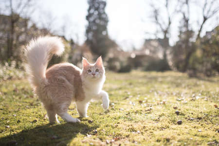 cream colored beige white maine coon kitten with fluffy tail outdoors in the sunlight 写真素材