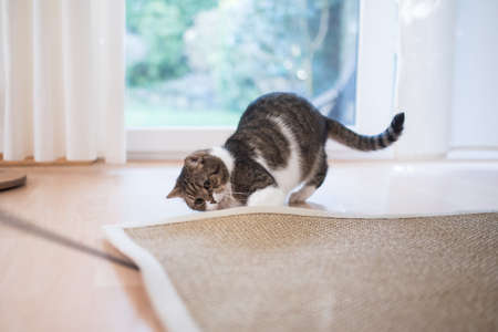 tabby white british shorthair cat searching for cats tyo under the sisal carpet