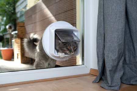 cute young blue tabby maine coon cat with white pawsentering room by passing through cat flap looking ahead curiously
